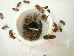Bees in a rapid feeder