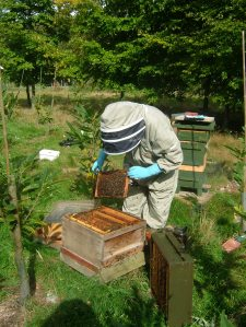 Checking the brood frames for disease