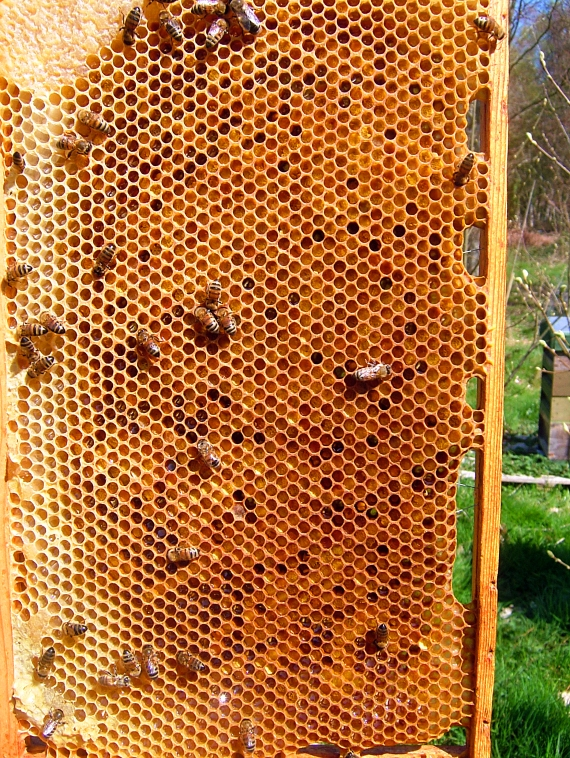 Lots of pollen being packed away for use in brood rearing